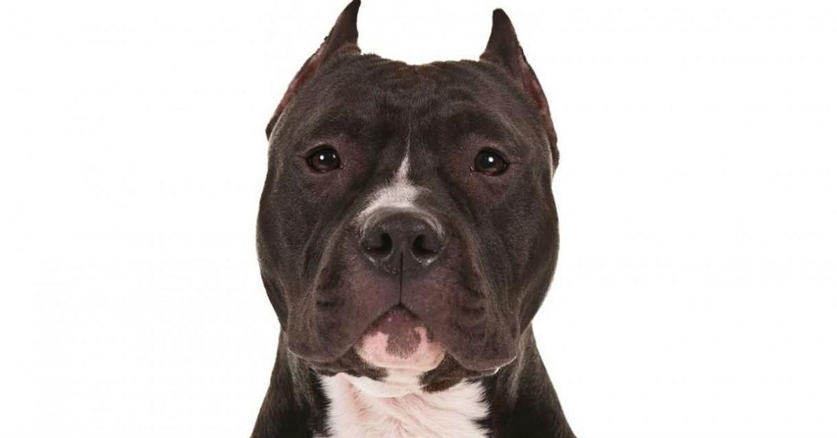 cane con orecchie tagliate