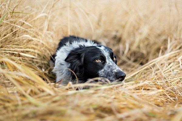 cane tra fieno
