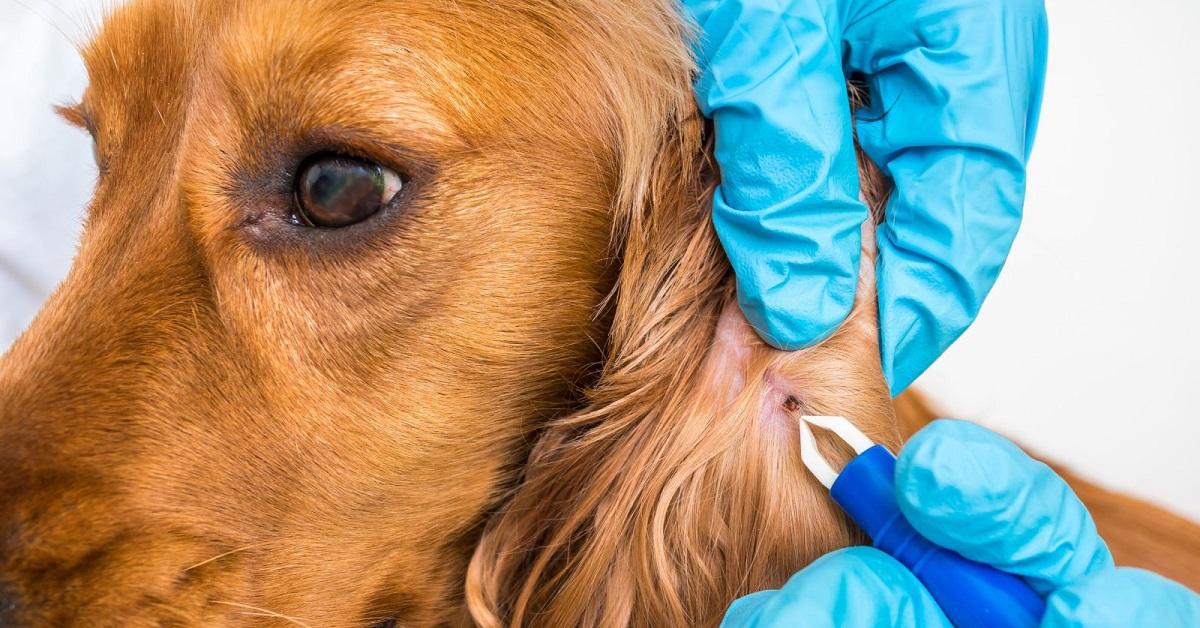 Tularemia nei cani: cos'è, sintomi e come prevenirla