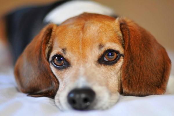 Cani e lutto: come reagiscono?