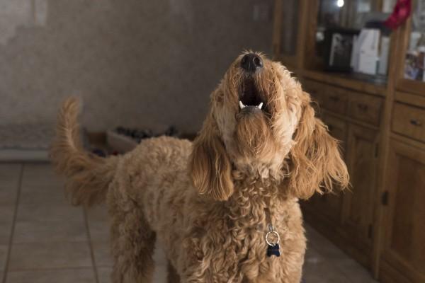 un cane ulula in casa