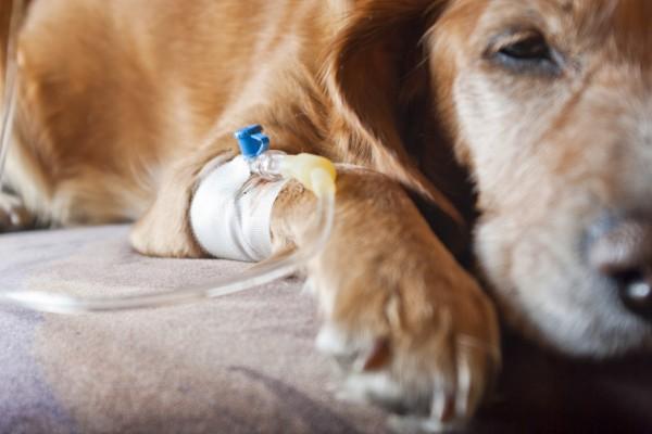 un cane fa una trasfusione