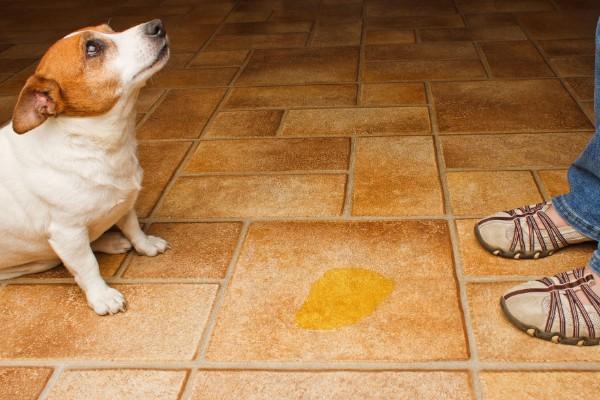 un cane viene rimproverato per la pipì