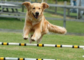 un cane si allena nell'agility
