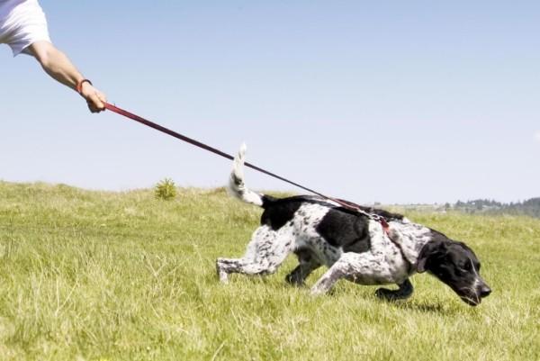 un cane tira il proprietario