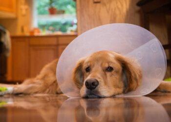ad9603bd644e3f un cane sdraiato con il collare elisabettiano
