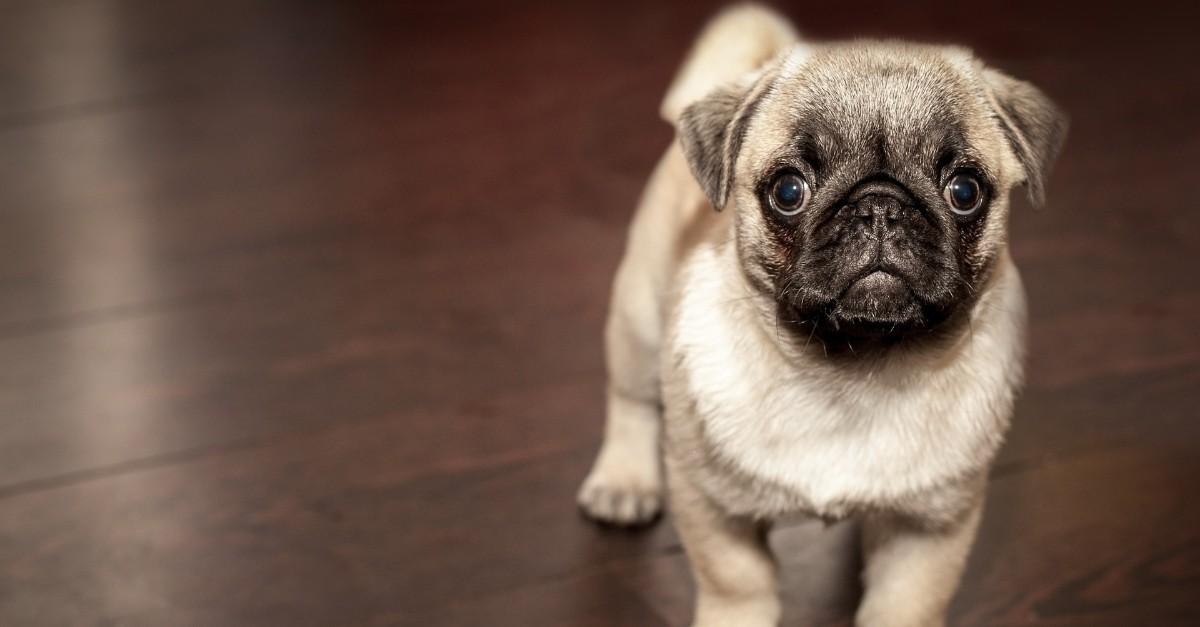 sindrome delle vie aree brachicefale nel cane