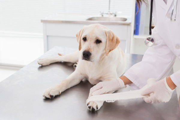 a un cane viene fasciata una zampa