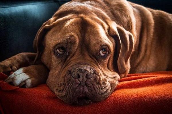 Vomito nel cane: cause e rimedi