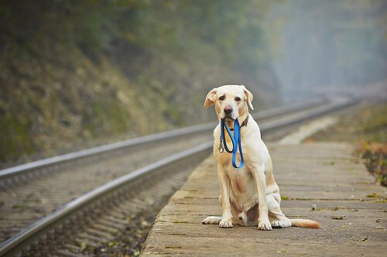 Cane che aspetta il treno