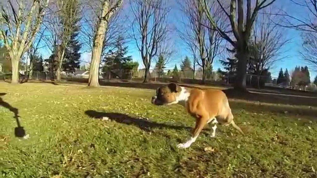 Duncan, il cane nato con due zampe, simbolo della felicità: il video