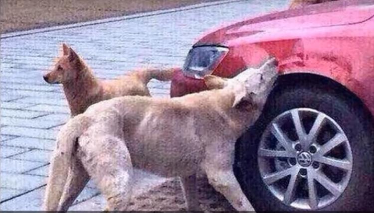 Cane che si vendica mordendo un'auto