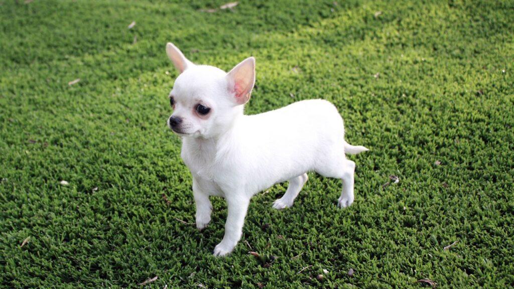Sesto: cane rubato da una macchina in sosta e ritrovato in un sacco