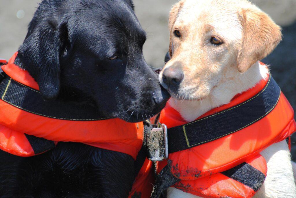 Forte dei Marmi: cani bagnino protagonisti di tre salvataggi in mare