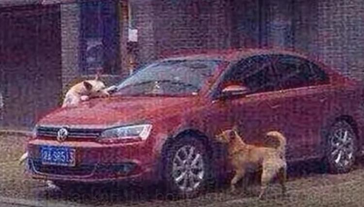 Due cani che distruggono una macchina