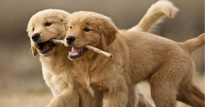 Due cuccioli di cane con un bastoncino