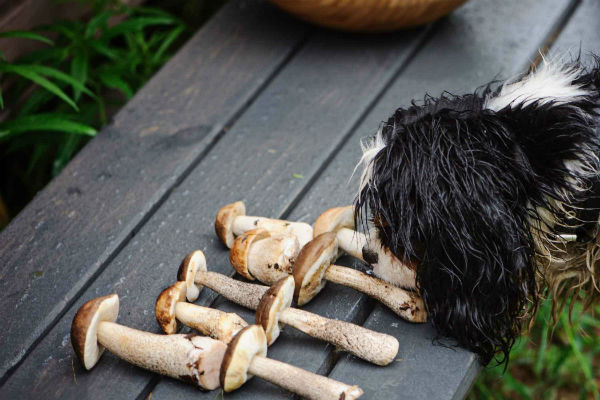 cane che annusa i funghi