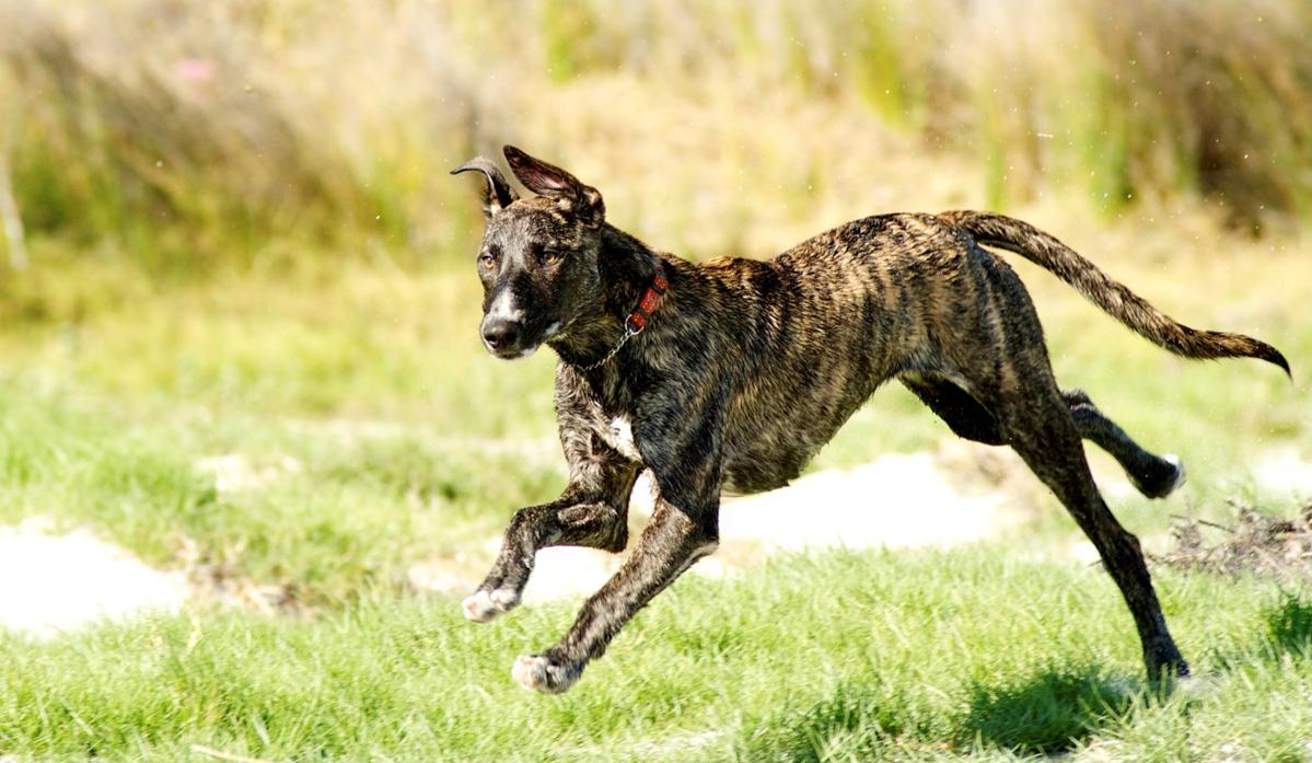 esemplare di cane Africanis in corsa su prato