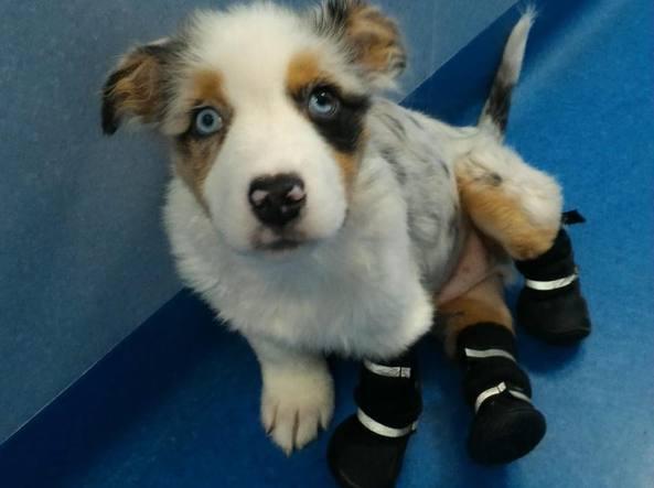 Alex, il cane senza zampe aspetta le sue protesi bioniche