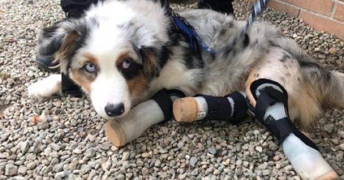 sarcoma sinoviale del cane