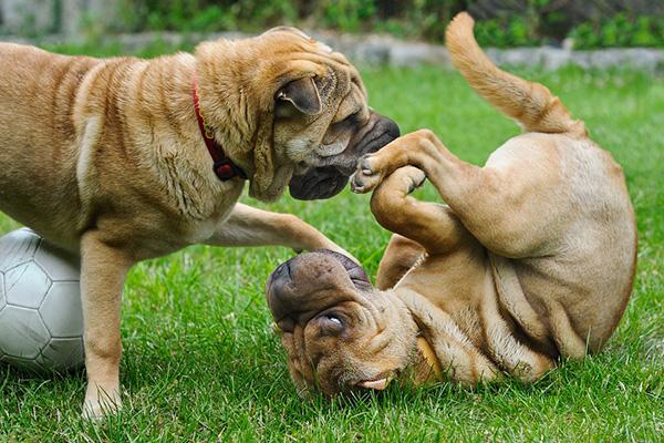 come far convivere un cane adulto e un cucciolo