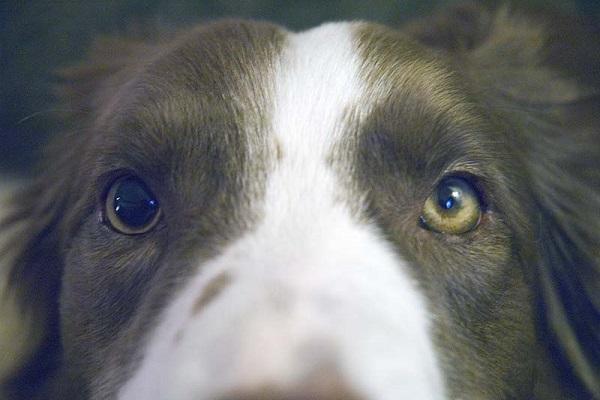 Anisocoria nel cane: l'asimmetria pupillare e il suo trattamento