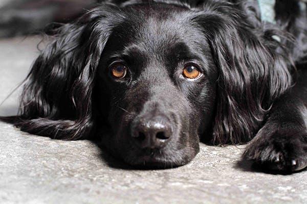 Icfvet per cani: a cosa serve e cos'è questa medicina