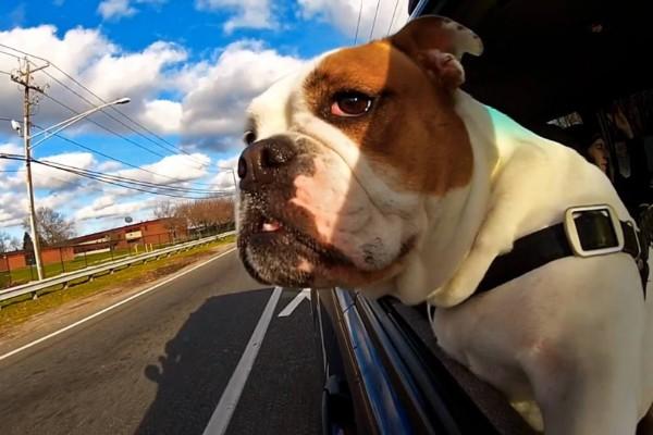 cane al finestrino