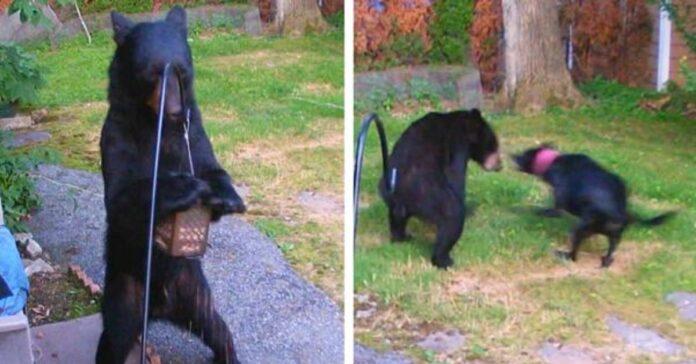 cane-affronta-senza-timore-un-orso-nel-giardino