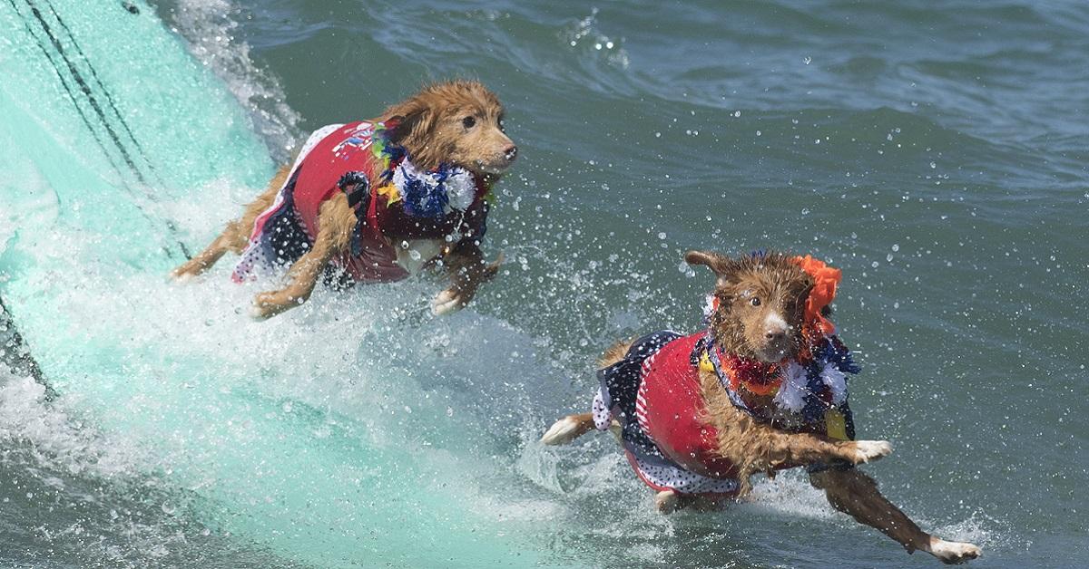 cani sulla tavola da surf