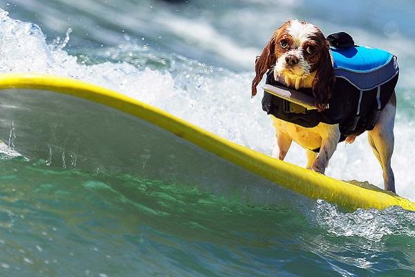 cane sul surf