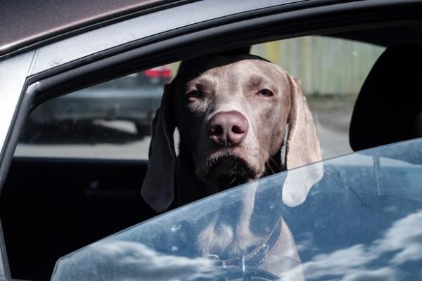 cane guarda