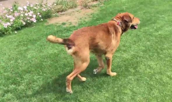 Il cane Rusty vive in libertà dopo essere stato incatenato per 15 anni