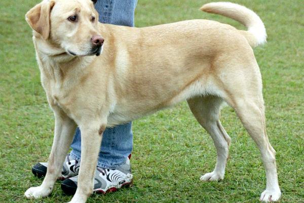 cane di grossa taglia