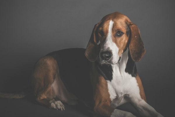 Cani da caccia: le 12 razze che devi assolutamente conoscere