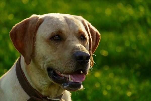 Cani e amoxicillina: cos'è, a che serve e quando viene prescritta
