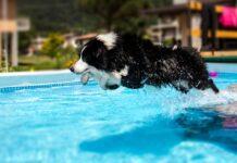 cane si tuffa in piscina