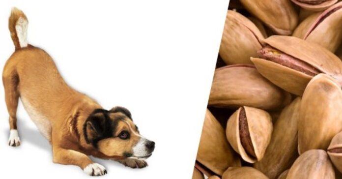 un cane mangia i pistacchi