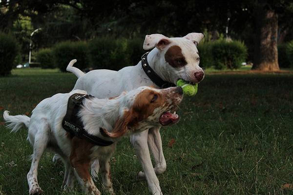 Come si comporta un cane adulto con un cucciolo?