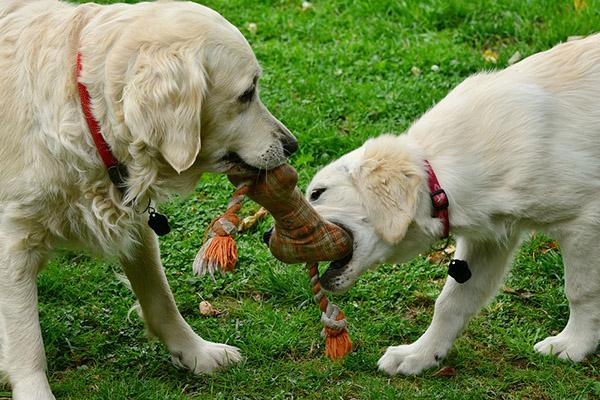 cane adulto che ringhia al cucciolo
