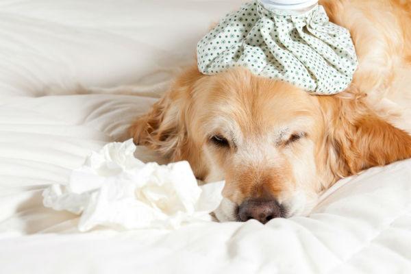 cane ammalato