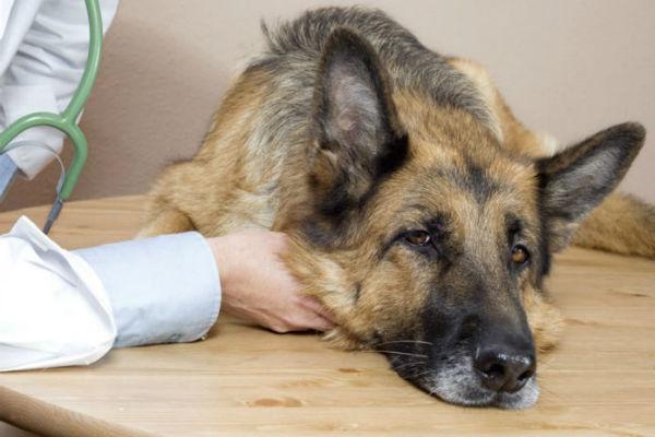Criptococcosi del cane: cause, sintomi, prevenzione, cura
