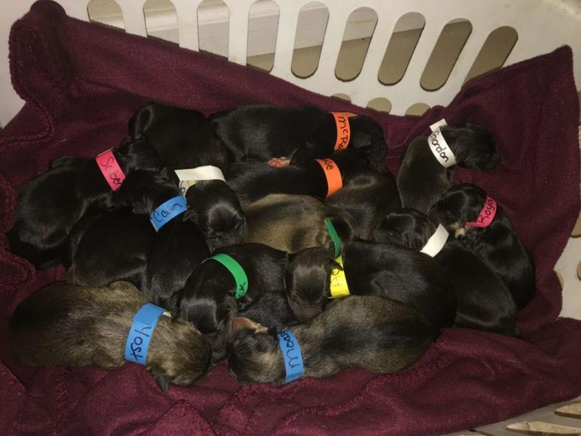 Il cane viene salvato da una donna, darà alla vita 18 cuccioli
