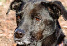 cane nero con gli occhi marroni