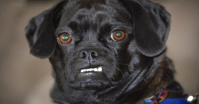 cane con disturbo bipolare