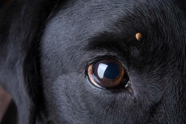 Febbre delle montagne rocciose nel cane: cos'è, come si cura?