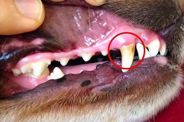 tartaro denti cane
