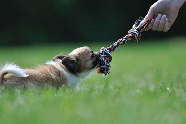 tiro alla fune con cane