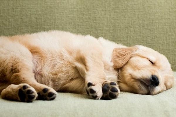 cane labrador che dorme