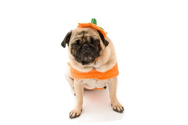 cane vestito da zucca